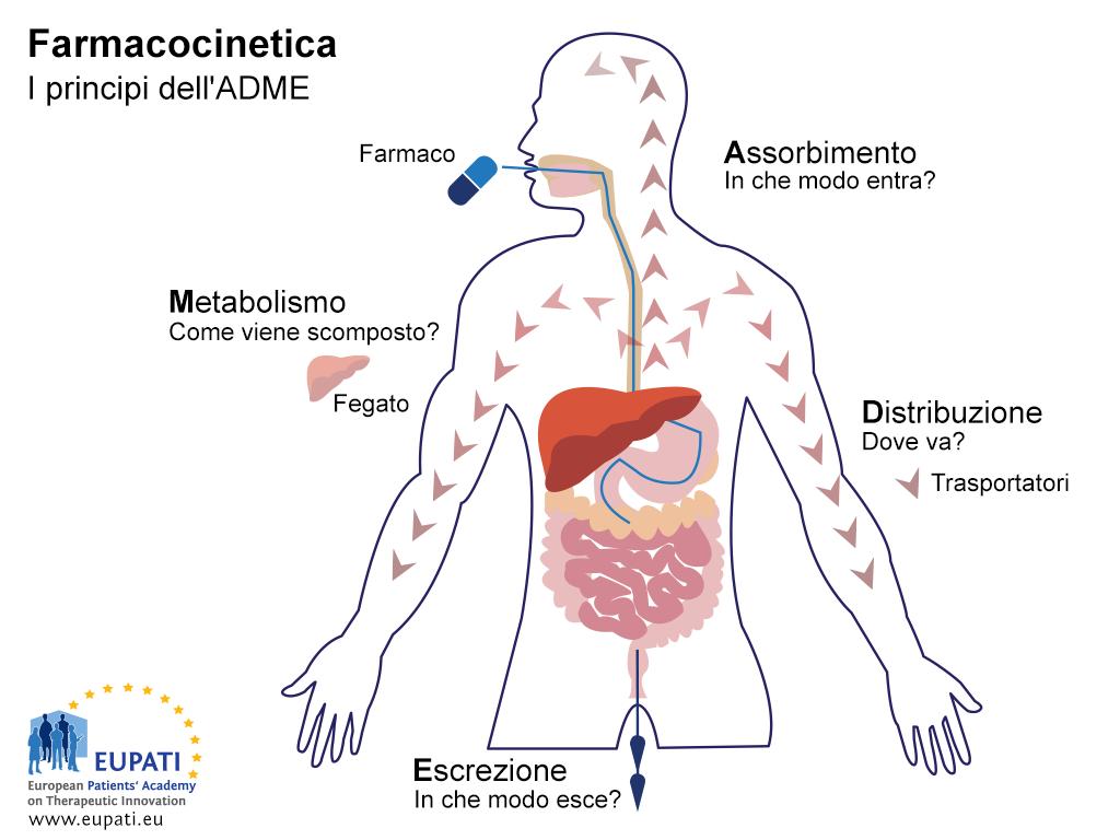 Un diagramma spiega i principi della farmacocinetica: ADME. Il diagramma illustra il profilo del corpo umano, includendo l'apparato digerente (bocca, esofago, stomaco, intestino tenue e intestino crasso) e il fegato. I principi dell'ADME riguardano l'interazione del farmaco con l'organismo e viceversa. L'Assorbimento (rappresentato dalla somministrazione di una compressa) presenta la domanda 'In che modo entra?' La Distribuzione presenta la domanda 'Dove va?' La distribuzione del farmaco dallo stomaco attraverso il flusso ematico nell'organismo viene rappresentata qui da una serie di frecce. Il Metabolismo presenta la domanda 'Come viene scomposto?' Viene rappresentato dalla presenza del fegato nel diagramma. L'Escrezione presenta la domanda 'In che modo esce?' ed è rappresentata dalle frecce provenienti dal colon.