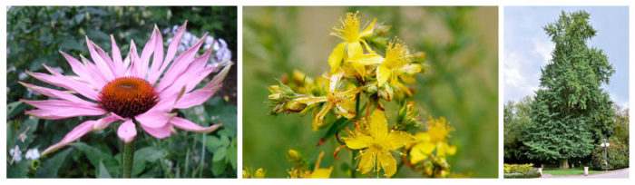 Photographs of the plant sources of three different herbal medicines. Echinicea purpurea is a large, pink flower with many long, thin petals; St. John's wort has smaller clusters of star-shaped yellow flowers; and Gingko bilboa is a large, green, leafy tree.